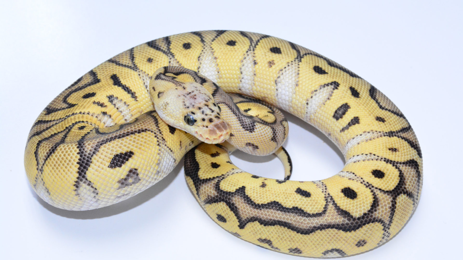 ball pythons – Genetically Diverse Ball Pythons