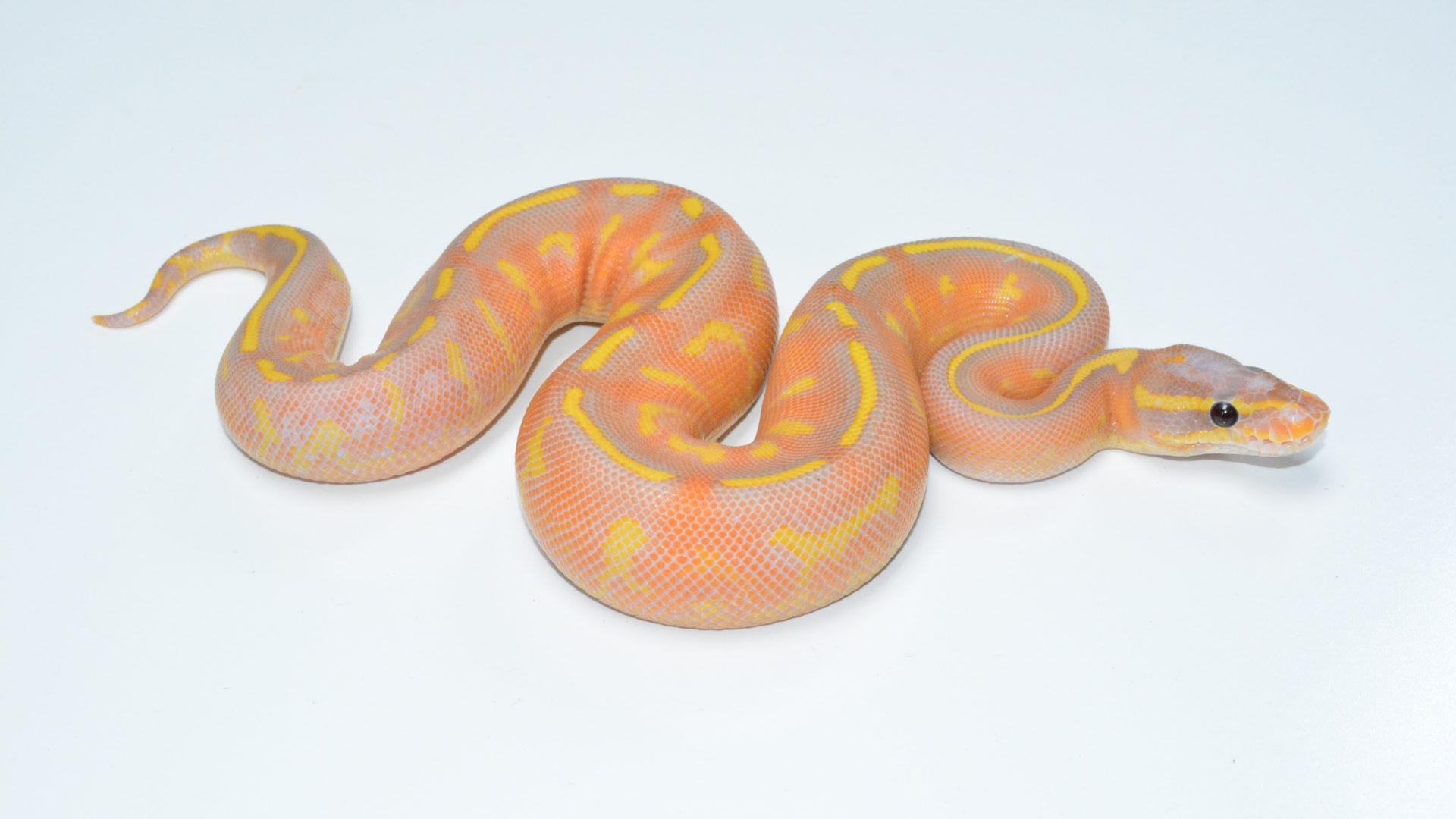 ball pythons – Genetically Diverse Ball Pythons